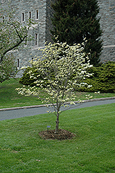 Appalachian Spring Flowering Dogwood (Cornus florida 'Appalachian Spring') at Snavely's Garden Corner