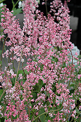 Oakleaf Foamflower (Tiarella 'Oakleaf') at Snavely's Garden Corner