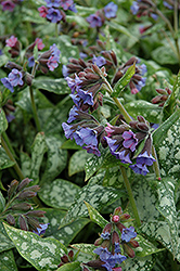 High Contrast Lungwort (Pulmonaria 'High Contrast') at Snavely's Garden Corner