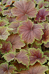 Delta Dawn Coral Bells (Heuchera 'Delta Dawn') at Snavely's Garden Corner