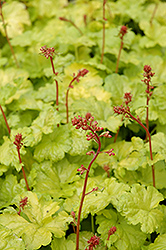 Sweet Tart Coral Bells (Heuchera 'Sweet Tart') at Snavely's Garden Corner
