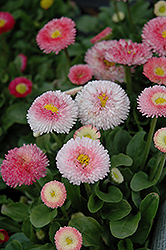 Tasso Strawberries And Cream English Daisy (Bellis perennis 'Tasso Strawberries And Cream') at Snavely's Garden Corner
