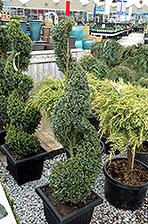 Green Mountain Boxwood (spiral form) (Buxus 'Green Mountain (spiral)') at Snavely's Garden Corner