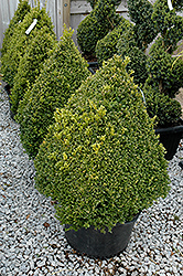 Green Mountain Boxwood (pyramid form) (Buxus 'Green Mountain (pyramid)') at Snavely's Garden Corner