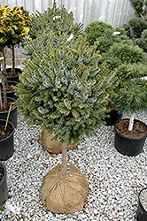 Dwarf Serbian Spruce (tree form) (Picea omorika 'Nana (tree form)') at Snavely's Garden Corner