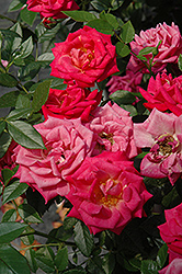 Be My Baby Rose (Rosa 'Be My Baby') at Snavely's Garden Corner