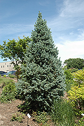 Upright Colorado Spruce (Picea pungens 'Fastigiata') at Snavely's Garden Corner