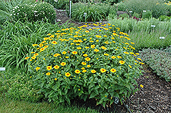 Tuscan Sun False Sunflower (Heliopsis helianthoides 'Tuscan Sun') at Snavely's Garden Corner