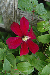 Sunset Clematis (Clematis 'Sunset') at Snavely's Garden Corner