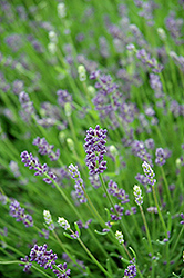 Essence Purple Lavender (Lavandula angustifolia 'Essence Purple') at Snavely's Garden Corner