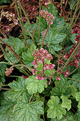 Berry Timeless Coral Bells (Heuchera 'Berry Timeless') at Snavely's Garden Corner