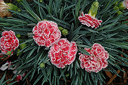 Coral Reef Pinks (Dianthus 'WP07OLDRICE') at Snavely's Garden Corner