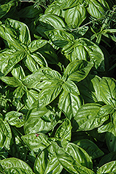 Genovese Compact Basil (Ocimum basilicum 'Genovese Compact') at Snavely's Garden Corner