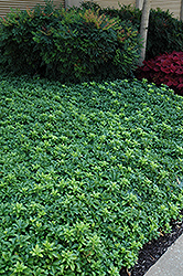 Green Sheen Japanese Spurge (Pachysandra terminalis 'Green Sheen') at Snavely's Garden Corner