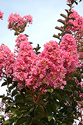 Sioux Crapemyrtle (Lagerstroemia 'Sioux') at Snavely's Garden Corner