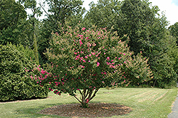 Tonto Crapemyrtle (Lagerstroemia 'Tonto') at Snavely's Garden Corner