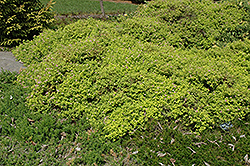 Golden Elf Spirea (Spiraea japonica 'Golden Elf') at Snavely's Garden Corner