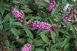 Lo And Behold® Pink Micro Chip Dwarf Butterfly Bush (Buddleia 'Lo And Behold Pink Micro Chip') at Snavely's Garden Corner
