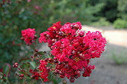 Siren Red Crapemyrtle (Lagerstroemia indica 'Whit VII') at Snavely's Garden Corner