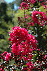 Pink Velour Crapemyrtle (Lagerstroemia indica 'Whit III') at Snavely's Garden Corner