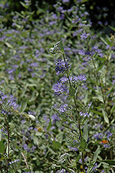 Bluebeard (Caryopteris x clandonensis) at Snavely's Garden Corner