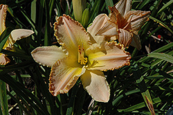 Pizza Crust Daylily (Hemerocallis 'Pizza Crust') at Snavely's Garden Corner