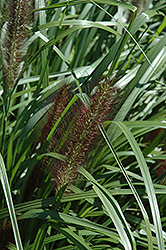 Red Head Fountain Grass (Pennisetum alopecuroides 'Red Head') at Snavely's Garden Corner