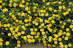 Landmark Yellow Lantana (Lantana camara 'Landmark Yellow') at Snavely's Garden Corner