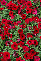 Easy Wave® Red Velour Petunia (Petunia 'Easy Wave Pink Passion') at Snavely's Garden Corner