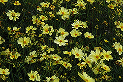Full Moon Tickseed (Coreopsis 'Full Moon') at Snavely's Garden Corner