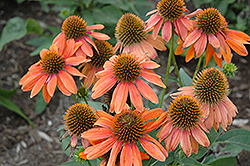 Sombrero® Adobe Orange Coneflower (Echinacea 'Balsomador') at Snavely's Garden Corner
