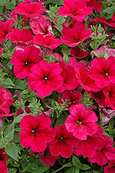 Easy Wave® Berry Velour Petunia (Petunia 'Easy Wave Berry Velour') at Snavely's Garden Corner