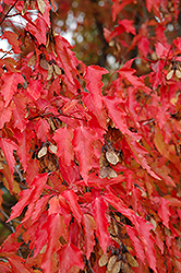 Amur Maple (tree form) (Acer ginnala '(tree form)') at Snavely's Garden Corner