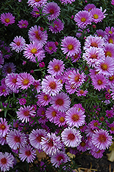 Purple Dome Aster (Aster novae-angliae 'Purple Dome') at Snavely's Garden Corner