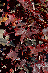 Crimson Sunset Japanese Maple (Acer 'JFS-KW202') at Snavely's Garden Corner
