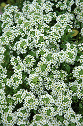 Clear Crystal White Sweet Alyssum (Lobularia maritima 'Clear Crystal White') at Snavely's Garden Corner