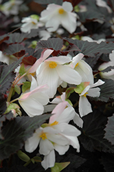 Unstoppable Upright White Begonia (Begonia 'Unstoppable Upright White') at Snavely's Garden Corner