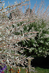 Tricolor Willow (tree form) (Salix integra 'Hakuro Nishiki (tree form)') at Snavely's Garden Corner