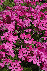 Drummond's Pink Moss Phlox (Phlox subulata 'Drummond's Pink') at Snavely's Garden Corner