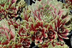 Commander Hay Hens And Chicks (Sempervivum 'Commander Hay') at Snavely's Garden Corner