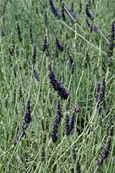 Goodwin Creek Gray Lavender (Lavandula x ginginsii 'Goodwin Creek Gray') at Snavely's Garden Corner