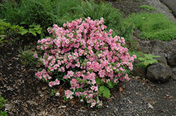 Gumpo Pink Azalea (Rhododendron 'Gumpo Pink') at Snavely's Garden Corner