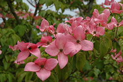 Red Flowering Dogwood (Cornus florida 'var. rubra') at Snavely's Garden Corner