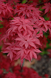 Twombly's Red Sentinel Japanese Maple (Acer palmatum 'Twombly's Red Sentinel') at Snavely's Garden Corner