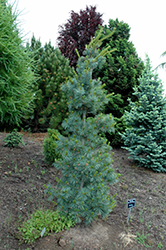 Blue Angel Japanese White Pine (Pinus parviflora 'Blue Angel') at Snavely's Garden Corner