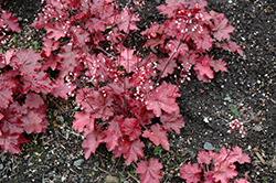 Fire Chief Coral Bells (Heuchera 'Fire Chief') at Snavely's Garden Corner