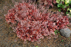 Peach Crisp Coral Bells (Heuchera 'Peach Crisp') at Snavely's Garden Corner