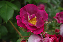 Stormy Weather Rose (Rosa 'ORAfantanov') at Snavely's Garden Corner