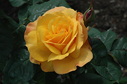 Good As Gold Rose (Rosa 'WEKgobafa') at Snavely's Garden Corner