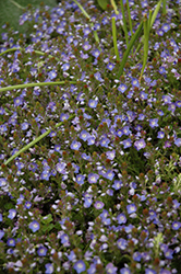 Crystal River Speedwell (Veronica 'Reavis') at Snavely's Garden Corner